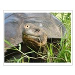 Galapagos Islands Turtle Small Poster