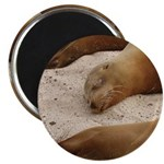 "Galapagos Islands Sea Lions 2.25"" Magnet (100 pack"
