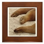Galapagos Islands Sea Lions Framed Tile