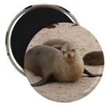 """Galapagos Islands Sea Lion 2.25"""" Magnet (10 pack)"""