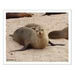Galapagos Islands Sea Lion Small Poster