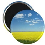 canola fields Magnets