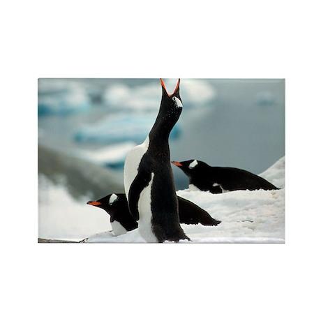 Singing Gentoon Penguin Rectangle Magnet