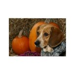 Beagle with Pumpkins Rectangle Magnet (10 pack)