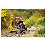 Wild Turkey Gobbler Large Poster