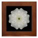 White Petunia II  Framed Tile