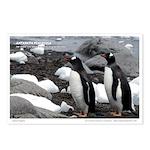 Penguins, Gentoo  - Postcards (Pkg 8)