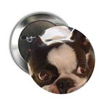 "Boston Terrier 2.25"" Button (10 pack)"