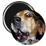 Crazy beagle Magnet