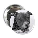 Roxy, Pit Bull Terrier 2.25