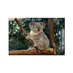 Koala Bear; Lone Pine Koala Sanctuary, Australia