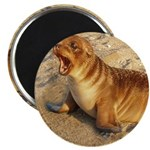 """Baby Sea Lion 2.25"""" Magnet (10 pack)"""
