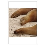 Galapagos Islands Sea Lions Large Poster