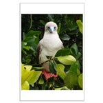 Galapagos Islands Red Footed Large Poster
