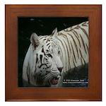 White tiger in water 2 Framed Tile