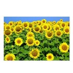 Sunflower Cluster Postcards (Package of 8)