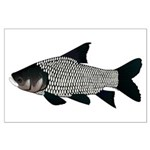 Giant carp barb Posters