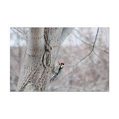 Woodpecker Poster Print Print