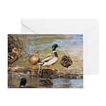 Mallard Ducks Greeting Cards (Pk of 20)