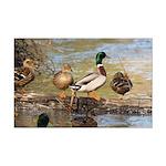 Mallard Ducks Mini Poster Print