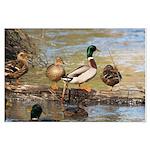 Mallard Ducks Large Poster