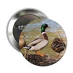 Mallard Ducks 2.25