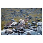 Killdeer Large Poster