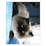 """Blue-Eyed Himalayan Cat 20""""x16"""" Poster"""