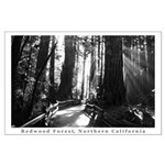 black + white california redwood trees posters