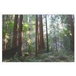 northern california redwood trees filtered sun