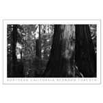 California Redwood Black + White Art Print Posters