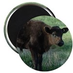 brown calf Magnets