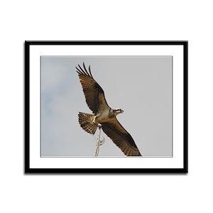 Female Osprey Framed Panel Print