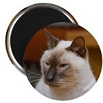 """2.25"""" Magnet of Chester: Greatest Siamese Cat"""