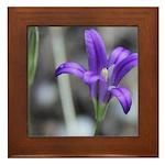 Blue-Eyed Grass Flower Framed Tile