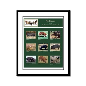 Rare Breed Pig Framed Panel Print
