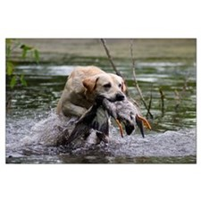 "Yellow Lab Poster 23"" x 35"""