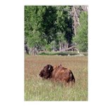 Bison in Field Vertical Postcards (8)