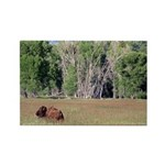 Bison in Field Horizontal Magnet
