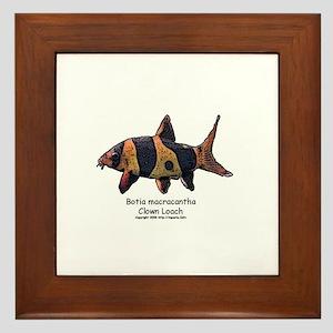 Botia macracantha (Clown Loac Framed Tile