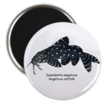 Synondontis angelicus Magnet