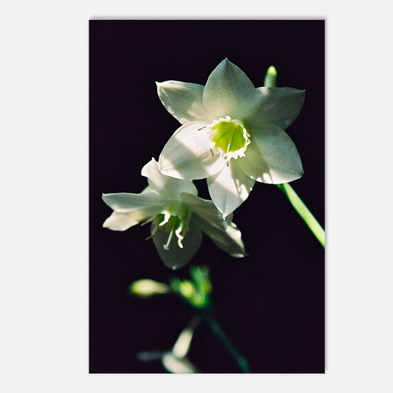 Amazon Lily - Postcards (Package of 8)