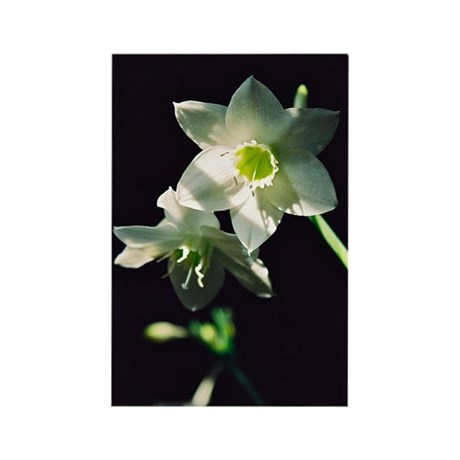 Amazon Lily - Rectangle Magnet (100 pack)