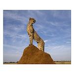 Cheetah King of the Jungle Small Poster