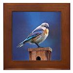 Bluebird (Female) Framed Tile