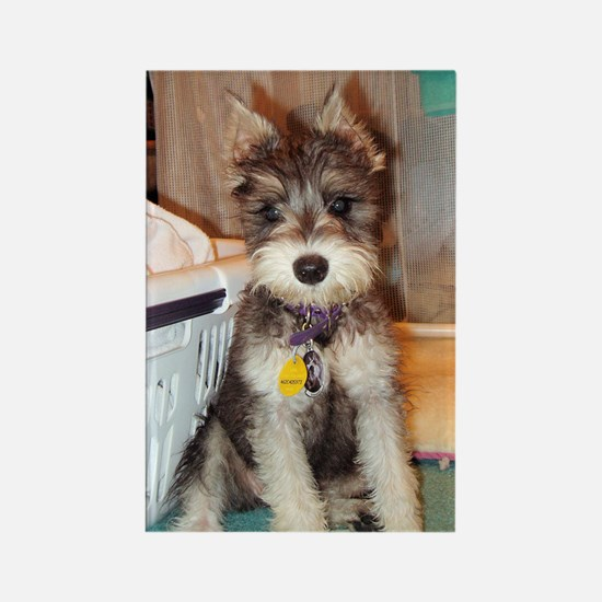 Schnauzer Puppy Rectangle Magnet (100 pack)