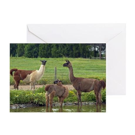 Llama Trio Greeting Cards (Pk of 20)