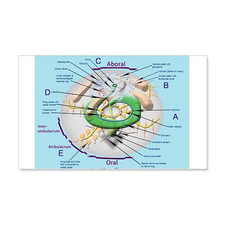 Sea urchin anatomy 22x14 Wall Peel by GeoChemBio