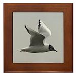 Black-headed Gull Framed Tile