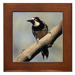 Acorn Woodpecker Framed Tile